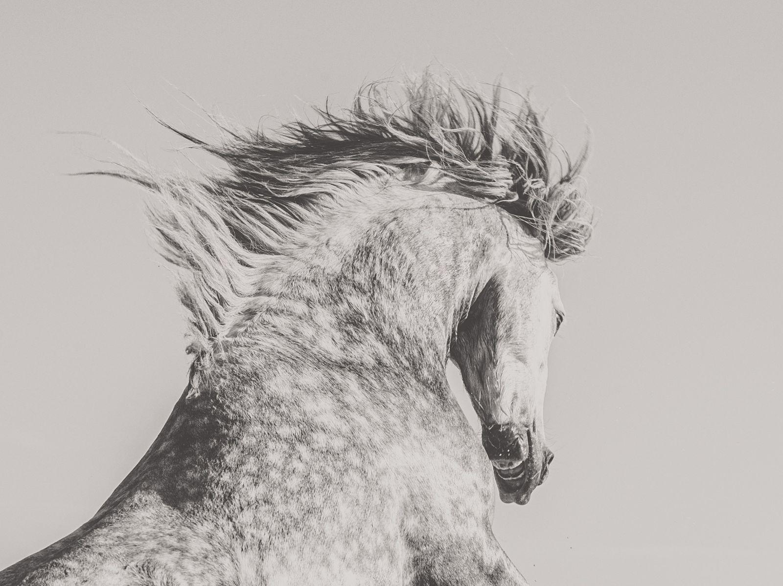 Grey horses rearing with waving mane